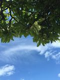Groene bladeren tegen blauwe hemel Stock Foto's