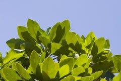 Groene bladeren tegen de zon Stock Afbeelding