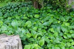 Groene bladeren in tuin royalty-vrije stock foto's