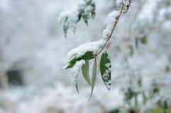 Groene bladeren van bomen in de sneeuw stock foto's