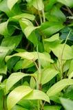 Groene bladeren van boom Stock Afbeeldingen