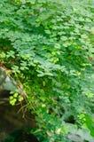 Groene bladeren van boom Royalty-vrije Stock Fotografie