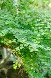 Groene bladeren van boom Stock Fotografie