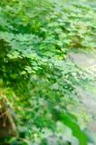Groene bladeren van boom Royalty-vrije Stock Afbeelding