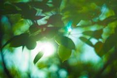 Groene bladeren van boom met zonstralen Stock Foto