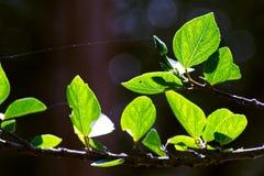Groene bladeren van Chinese hibiscus royalty-vrije stock afbeelding