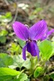 Groene bladeren van de bloemblaadjes de violette bloem Royalty-vrije Stock Fotografie