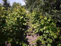 Groene bladeren van de druivenboom Het zonlicht verlicht de bladeren Details en close-up stock footage