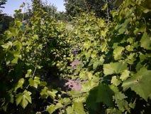 Groene bladeren van de druivenboom Het zonlicht verlicht de bladeren Details en close-up stock video