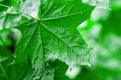 Groene bladeren van de esdoornboom nat na de regen Stock Afbeeldingen