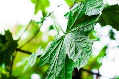 Groene bladeren van de esdoornboom nat na de regen Stock Foto's