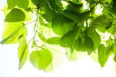 Groene bladeren van de lindeboom in de zonneschijn Royalty-vrije Stock Afbeeldingen