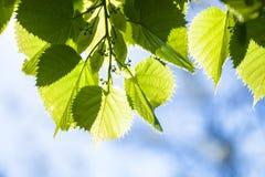 Groene bladeren van de lindeboom in de zonneschijn Stock Foto