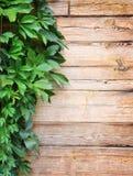 Groene bladeren van de wilde druiven op natuurlijke houten achtergrond Stock Foto