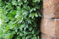 Groene bladeren van de wilde druiven op natuurlijke houten achtergrond Royalty-vrije Stock Foto's
