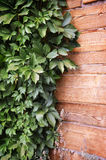Groene bladeren van de wilde druiven op natuurlijke houten achtergrond Stock Foto's