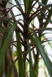 Groene bladeren van een installatie, een bloem met groene bladeren Tien Shan De installaties op het venster Stock Foto's