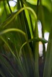 Groene bladeren van een installatie, een bloem met groene bladeren Tien Shan De installaties op het venster Verse groen Royalty-vrije Stock Fotografie