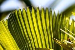 Groene bladeren van een palm royalty-vrije stock afbeelding