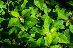 Groene bladeren van een struik die door zonlicht worden gebaad Stock Afbeelding
