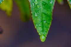 Groene bladeren van een struikhoogtepunt van druppeltjes na de regen, die is Stock Foto's