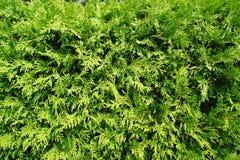 Groene bladeren van een thuja op een muur. Stock Afbeeldingen