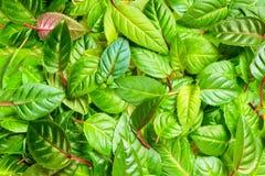 Groene bladeren van fuchsia als achtergrond, Royalty-vrije Stock Fotografie
