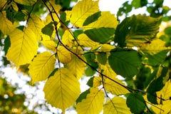Groene bladeren van hazelaar in de zon royalty-vrije stock fotografie