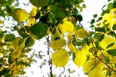 Groene bladeren van hazelaar in de zon royalty-vrije stock afbeelding