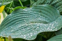 Groene bladeren van Khosta Stock Afbeeldingen