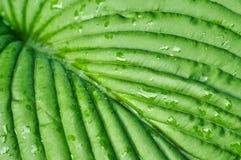 Groene bladeren van Khosta Royalty-vrije Stock Afbeelding