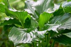 Groene bladeren van Khosta Royalty-vrije Stock Fotografie