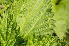 Groene bladeren van netel royalty-vrije stock afbeelding