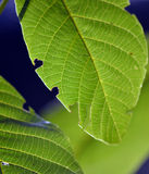 Groene bladeren van okkernootboom op zonsopgang Royalty-vrije Stock Afbeelding