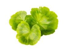 Groene bladeren van ooievaarsbek op een witte achtergrond Royalty-vrije Stock Afbeelding