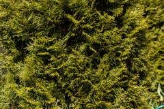 Groene bladeren van pijnboomnaalden Stock Foto