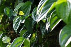 Groene bladeren van pijper betle Stock Fotografie