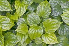 Groene bladeren van pijper betle of betel Royalty-vrije Stock Afbeeldingen
