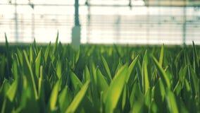Groene bladeren van tulpen in de serre stock videobeelden