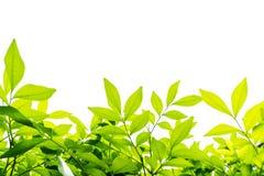 Groene bladerenachtergrond Stock Fotografie