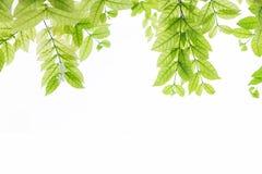 Groene bladerenachtergrond met witte exemplaarruimte, op witte achtergrond Royalty-vrije Stock Foto