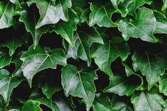 Groene bladerenachtergrond Natuurlijk vers abstract patroon Stock Afbeelding