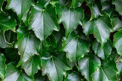 Groene bladerenachtergrond Natuurlijk vers abstract patroon Royalty-vrije Stock Foto's