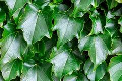 Groene bladerenachtergrond Natuurlijk vers abstract patroon Royalty-vrije Stock Afbeeldingen