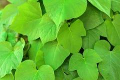 Groene bladerenachtergrond in natuurlijke kleuren Stock Foto