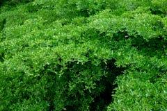Groene bladerenachtergrond op de boom Stock Foto's