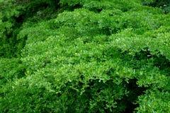 Groene bladerenachtergrond op de boom Stock Fotografie