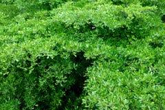 Groene bladerenachtergrond op de boom Stock Afbeeldingen