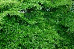 Groene bladerenachtergrond op de boom Royalty-vrije Stock Afbeeldingen