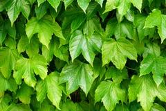 Groene bladerenachtergrond van Hedera-installatie van plantkundefamilie Araliaceae stock foto's